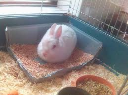 How Much To Feed A Netherland Dwarf Rabbit
