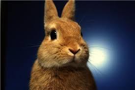 How much does a netherland dwarf rabbit weigh