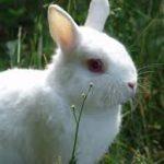 Netherland Dwarf Rabbit Behavior