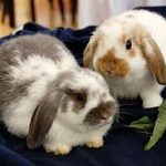 Netherland Dwarf Rabbit Vs Holland Lop