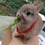 Netherland Dwarf Rabbit Diet