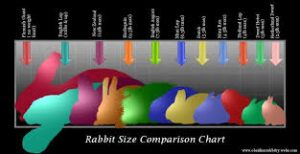 how big do netherland dwarf bunnies get