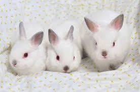 netherland dwarf rabbit breeders