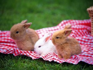 Dwarf Bunnies For Sale Near Me
