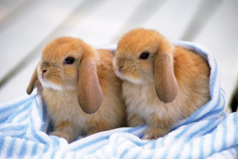 Dwarf Bunnies Price