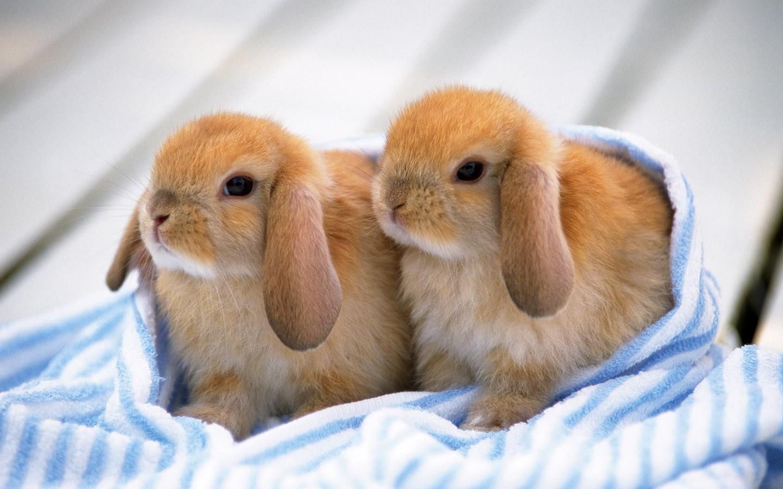 Dwarf Baby Bunnies Price Dwarf Bunnies For Sale