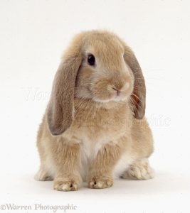 Dwarf Lop Bunnies For Sale