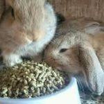 Netherland Dwarf Rabbit Comparison
