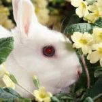 Netherland Dwarf Rabbits With Red Eyes