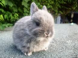Temperament Of A Netherland Dwarf Rabbit