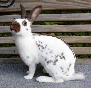english-spot-rabbits