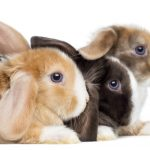 How Many Breeds of Rabbits Are There?