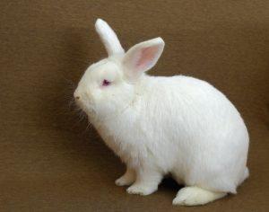 new-zealand-rabbit-breed