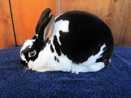 What is A Mini Rex Rabbit