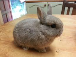 What is The Smallest Breed of Rabbit In The World?