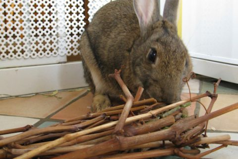 rabbit-eating-sticks