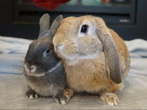Rabbit caretaking