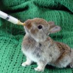 What To Feed Baby Rabbits Without A Mother?