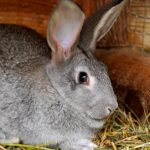 Everything You Need To Know About Chinchilla Rabbit
